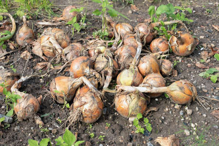 Soil of Dutch allotment garden in autumn with heap of harvested onions