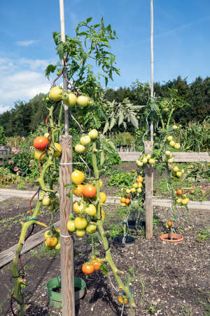 Dutch allotment garden in autumn with ripening tomatoes