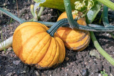 Dutch allotment garden in autumn with ripe pumpkin between wilted leaves 免版税图像