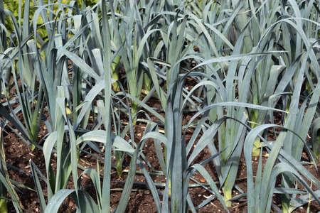 Dutch allotment garden in autumn with detail of ripening leek