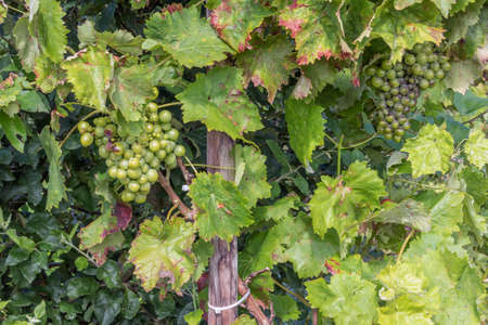 Dutch allotment garden in autumn with detail of ripening grapes