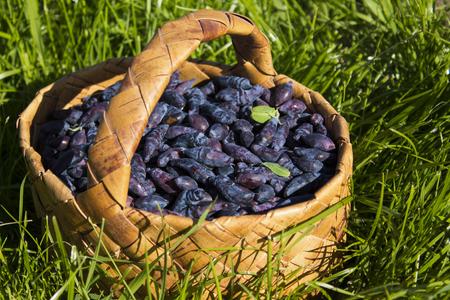 Basket with ripe berries of honeysuckle