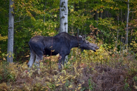 munching: Full side view of a moose calf munching leaves in the White Mountains of New Hampshire.