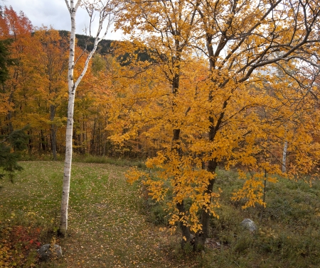 quaking aspen: An orange quaking aspen tree and a white birch in autumn.