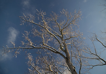 clinging: Leafless tree in winter outlined in snow against a blue sky