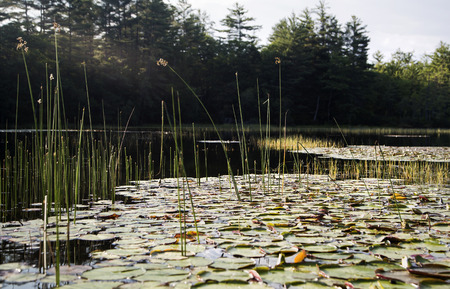 invasive plant: Lily pads and reeds in Squam River, New Hampshire
