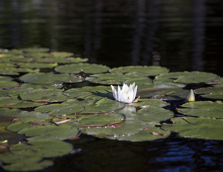 nymphaea odorata: White water lily, partly open, in Squam River, Ashland, New Hampshire Stock Photo