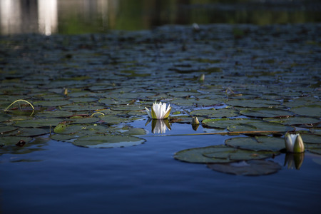 nymphaea odorata: White water lily reflected in blue water of Squam River, Ashland, New Hampshire Stock Photo