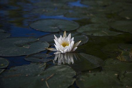 invasive: White water lily reflected in water of Squam River, Ashland, New Hampshire Stock Photo