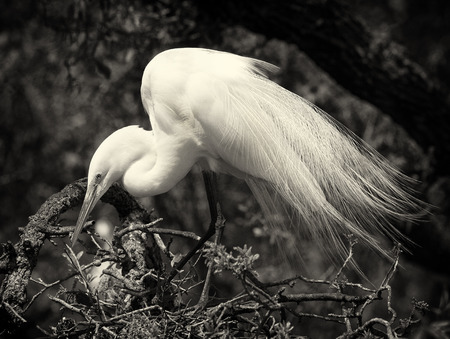 wade: Snowy egret and baby in nest, St. Augustine, Florida--black and white Stock Photo