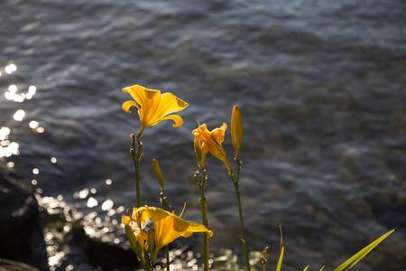 Backlit gele lelies met water uit het meer als achtergrond