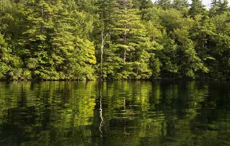 Evergreens and a birch reflected in the calm water of Squam Lake, NH