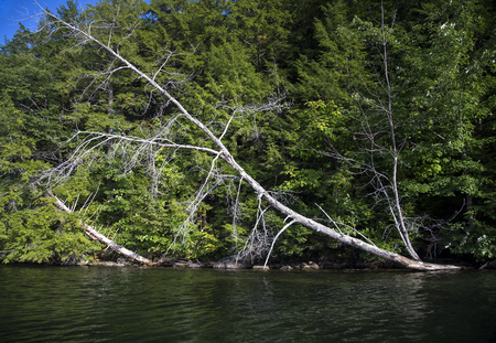 Fallen dead tree on an angle on shoreline at Squam Lake, New Hampshire