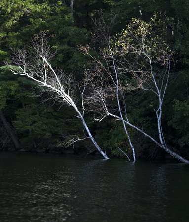 White birch trees highlighted against darker trees at lake shoreline