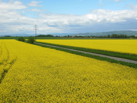 Flowering field of oilseed rape with electric mast.