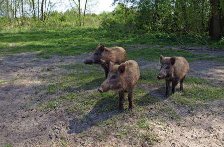 Three young wild boar are watching the surroundings.