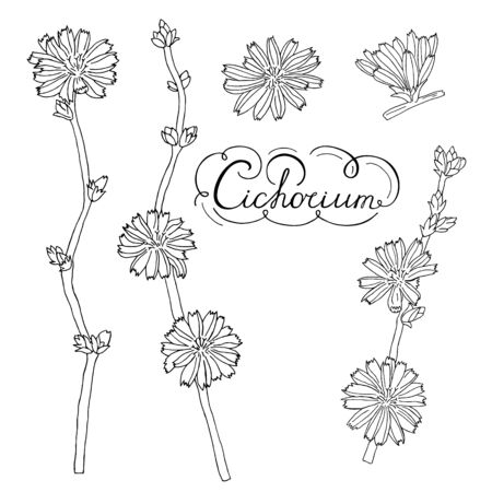 Chicory flowers set. Hand drawn black letters. Botanical vector illustration. Latin name Cichorium. Petals, buds, twigs, leaves. Isolated contour elements on a white background. Design for print, fabric, poster, card.