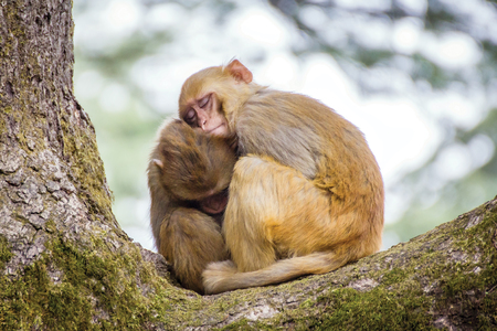 Two cute monkeys sleeping on each other Stock Photo