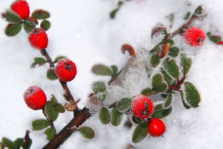 Winter holly berrie. White - frosted red holly berries on snow photo