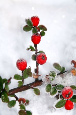 frost covered: Winter holly berrie. White - frosted red holly berries on snow Stock Photo