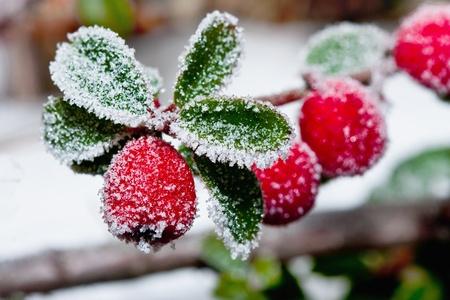 Blanc - givré rouge des baies de houx sur la gelée blanche