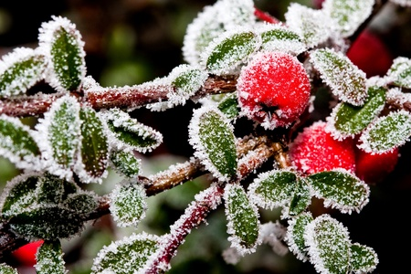 White - frosted red holly berries on a white frost