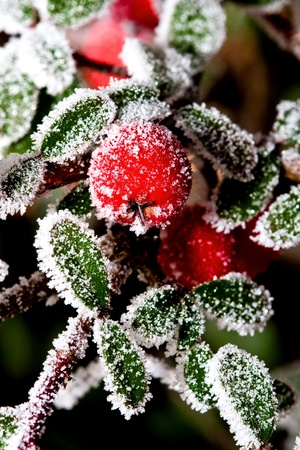 White - frosted red holly berries on a white frost photo