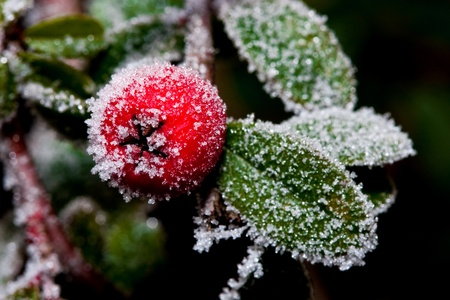 holly berry: White - frosted red holly berries on a white frost