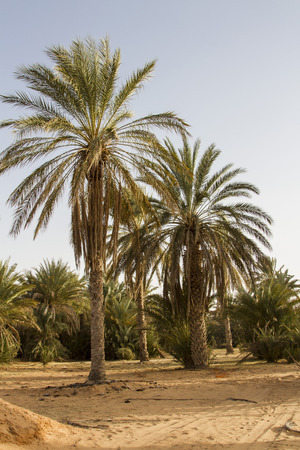 date palm tree: Plantation of the date palm in Ksar Ghilane Desert Oasis, Tunisia Stock Photo