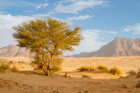 Green plant in the Sahara desert. Saharan Cypress or Tarout (Cupressus dupreziana), very rare coniferous tree Tadrart region, Tassili n'Ajjer National Park, Sahara, Algeria, North Africa. Reklamní fotografie