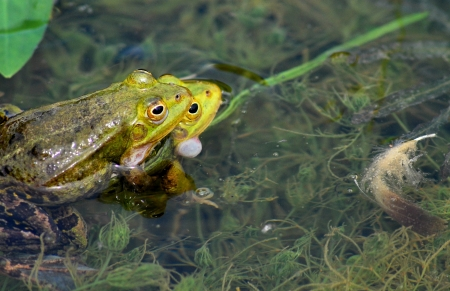 Frogs mating in a pond photo