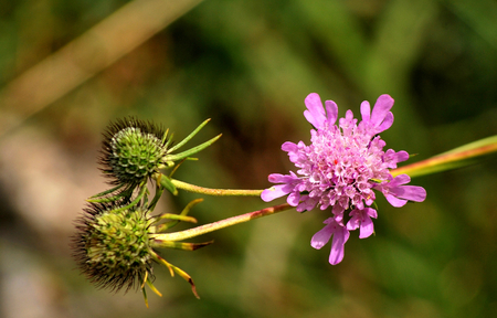 lucid: Scabious lucid Stock Photo