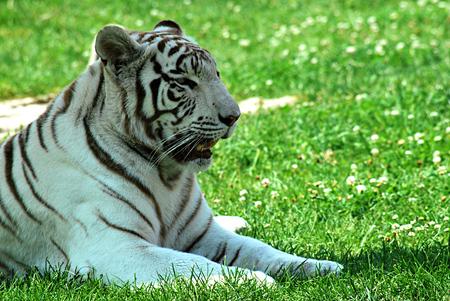 recessive: White tiger