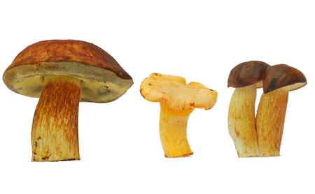 comestible: Chanterelle and bolete mushroom