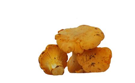 mycelium: Mushroom  - Chanterelle