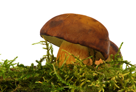 bolete: Bolete mushroom