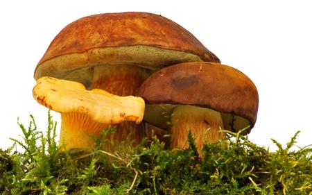 cull: Chanterelle and bolete mushroom