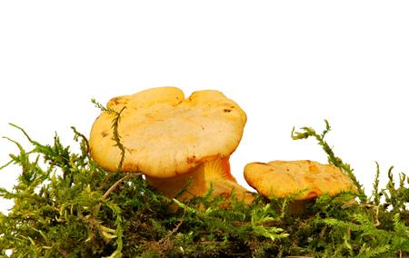 cull: Chanterelle Mushroom