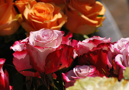 profess: Roses Stock Photo