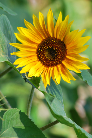 Sunflower - blooming in the sun photo