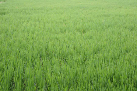 Green paddy rice fields in Bali, Indonesia photo