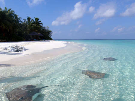 Manta rays in blue sea near the beach photo