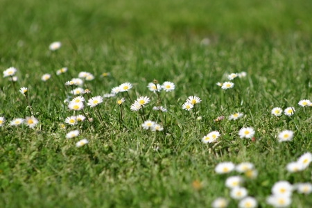 herbe: Marguerite
