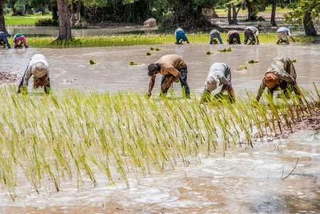 Groupe of people during rice picking, Cambodia photo