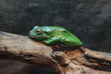 Green frog on a tree Stockfoto
