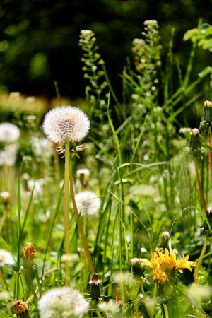 Dandelions on a sunny day./Wind, Dandelion Seed, Flying, Plant, Seed