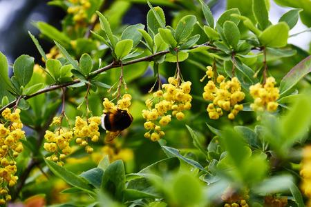 Yellow flowers of bird cherry close-up. Blossom, Cherry, Cherry Blossom, Flower, Forest Stock Photo