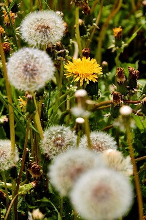 Dandelions on a sunny day.Wind, Dandelion Seed, Flying, Plant, Seed Stock Photo