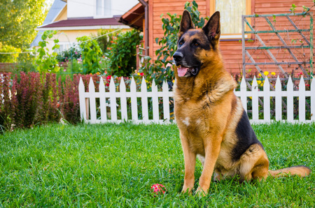 German Shepherd on the grass, dog in the park.