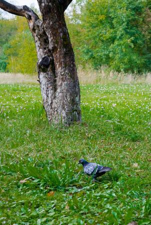 Birds (pigeon) in the grass field